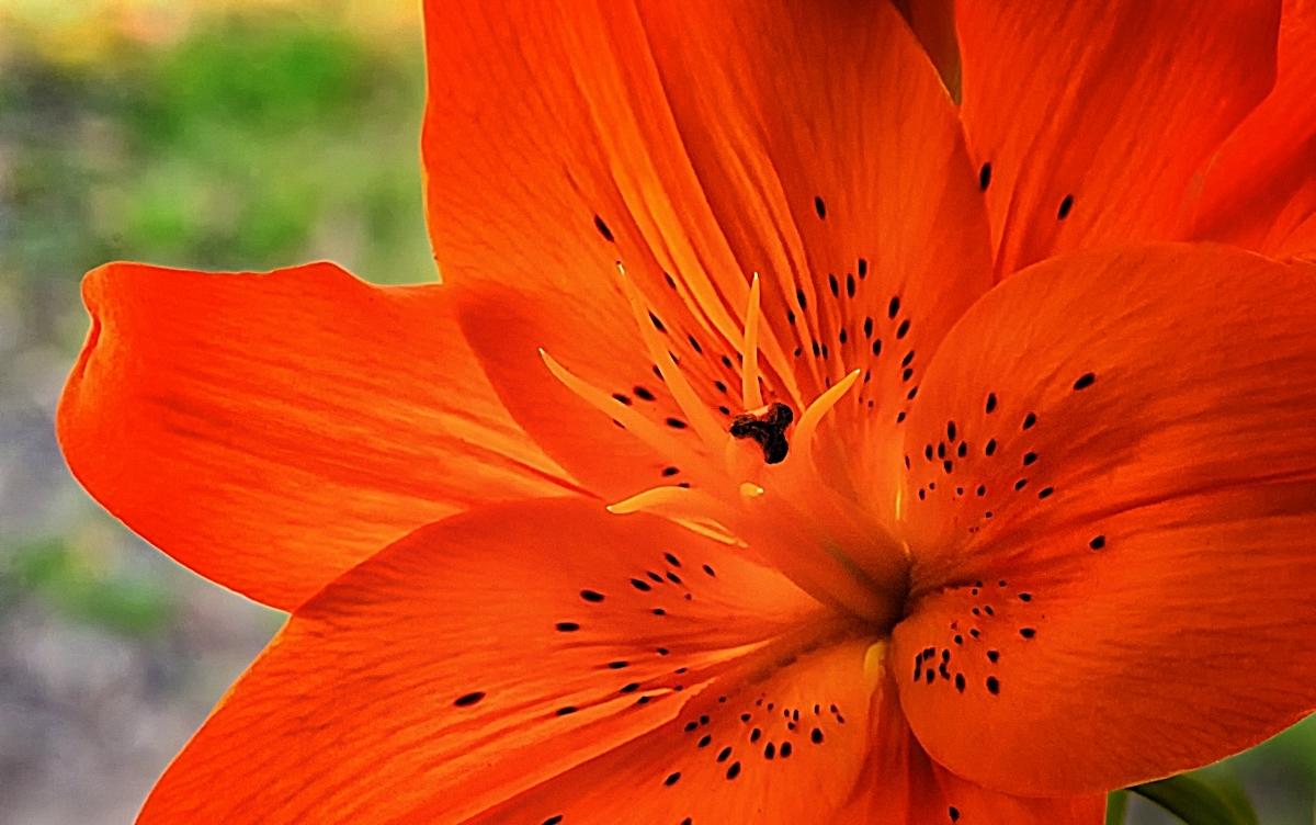 Asiatic in Orange