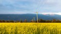 Yellow Field with Telephone Poles