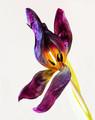 When Tulip Petals Fall