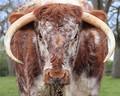 Horny cow