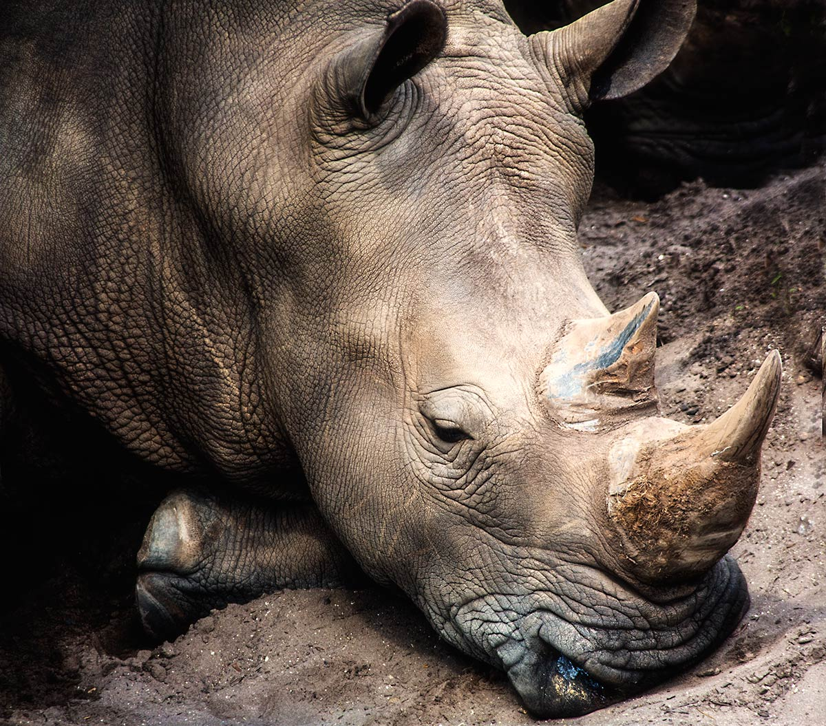 Only a Rhino Needs a Rhino Horn
