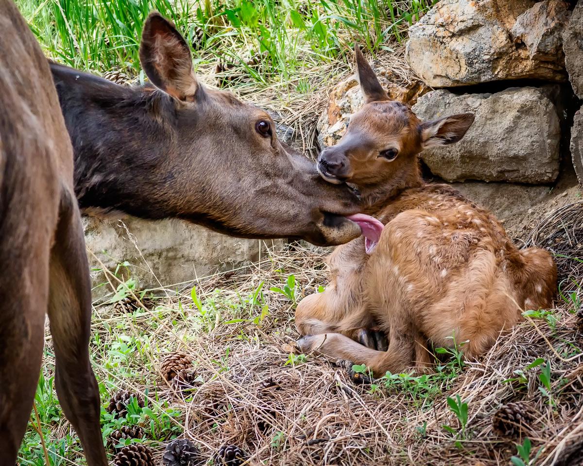 Newborn Wapiti