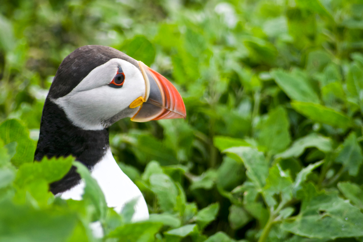Pondering' Puffin