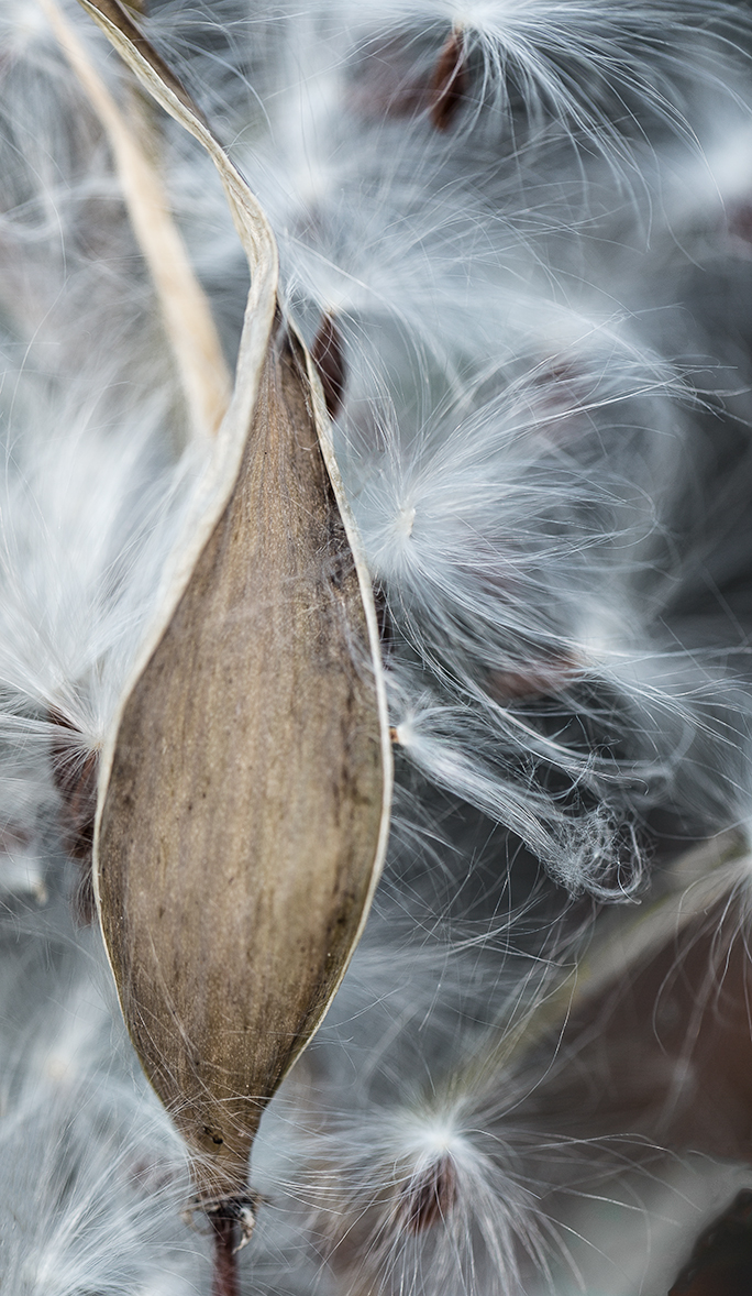 Milkweed Dispersal