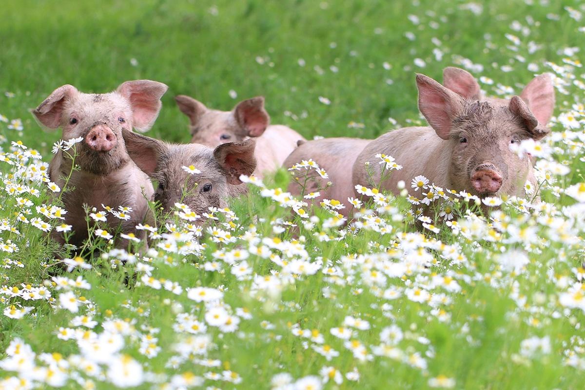 Oink oink!
