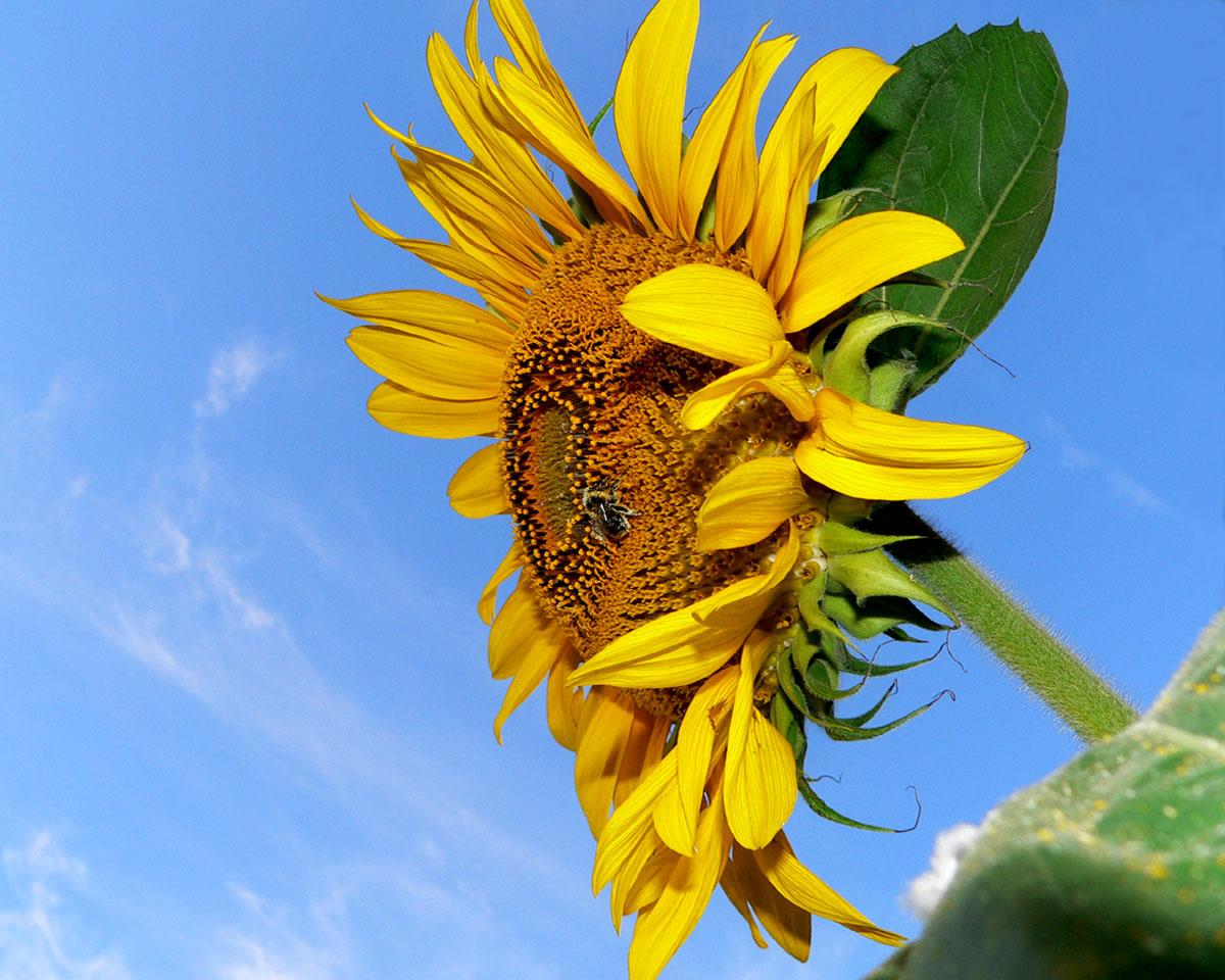 Bee on tall sunflower