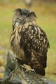 Eagle-owl in the rain