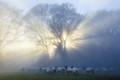 Good morning sheep