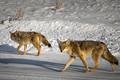 Prowling Predators
