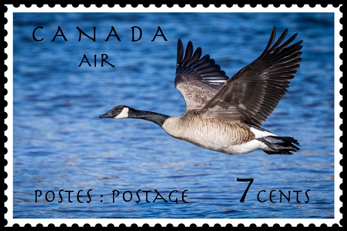 Canada Postage Stamp – Canada Goose, 7c, 1951