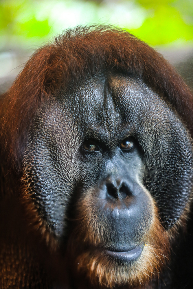 Face of Orangutan-The Real King of the jungle