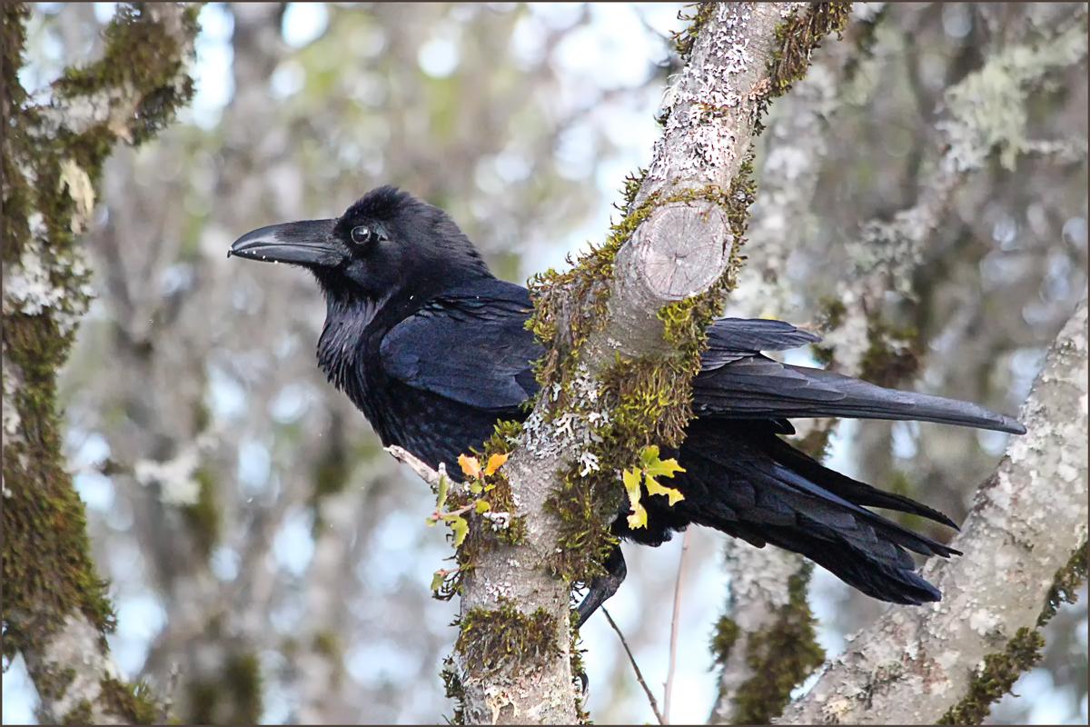 Raven rests