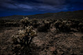 Joshua Tree Cholla Garden by Moonlight