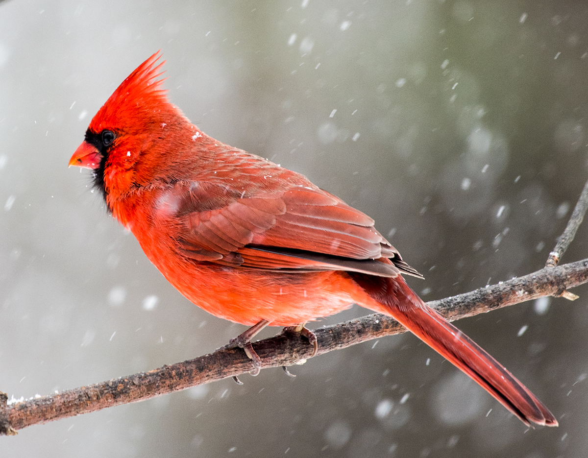 Papa Cardinal In The Snow