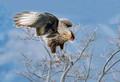 Southern Crested Caracara, Patagonia