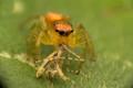 Spi-mantis (Spider+Mentis)