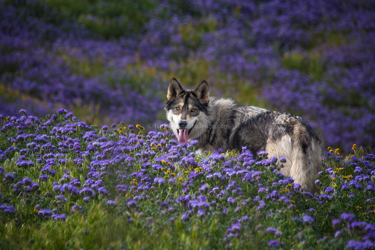 pups in purple