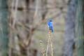 Bluebird in the Rain