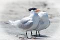 Would you believe a headless tern?