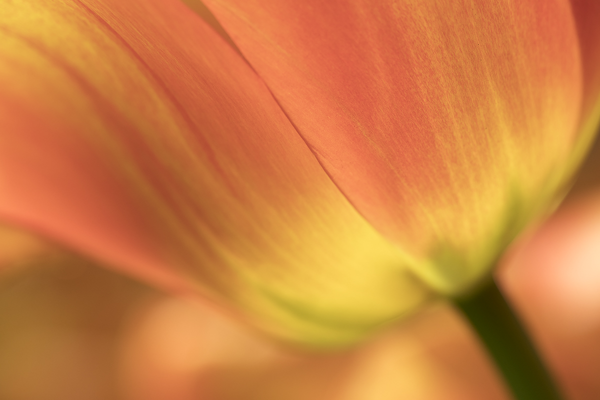 Inspired Colorful Tulip Petals