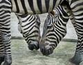 The Zebra Frame