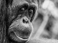 Orangutan:Looking Back
