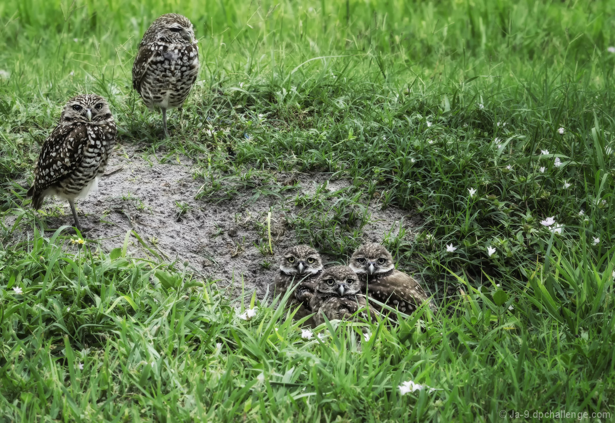 Family Portrait ~ Burrowing Owls