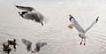 seagulls in Flight...Looking for bread .