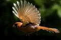 ZORO CARDINAL - Bird Superhero