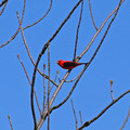 The Elusive Scarlet Tanager
