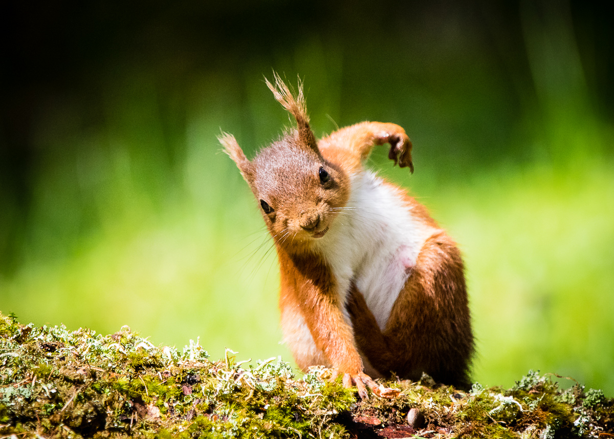Female European Red Squirrel