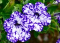 blue spotted petunia