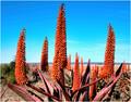 Flowering Aloe Ferox
