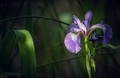 Iris in dappled sunlight