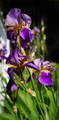 Iris photo in the style of M. Vincent Van Gogh