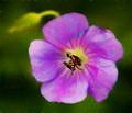 Purple Flower with Bud