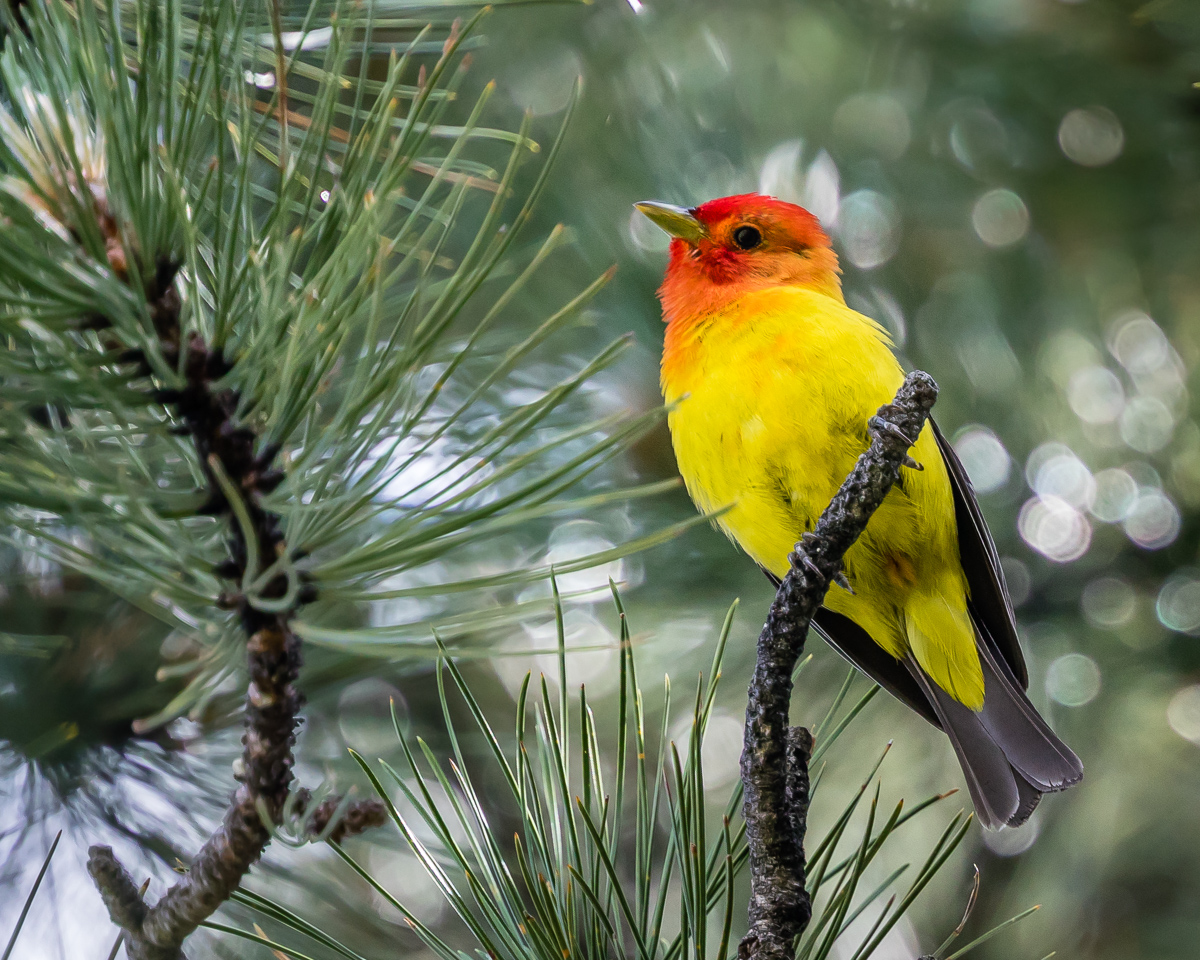 Proud Tanager
