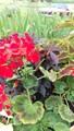 Macroglossum Pelargonium Hortorum