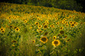 Sunflowers (a lot of...)