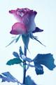 Ugly rose