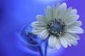 Silphium integrifolium