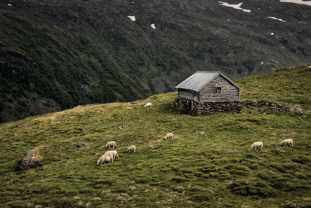 The Mountain Shepherd