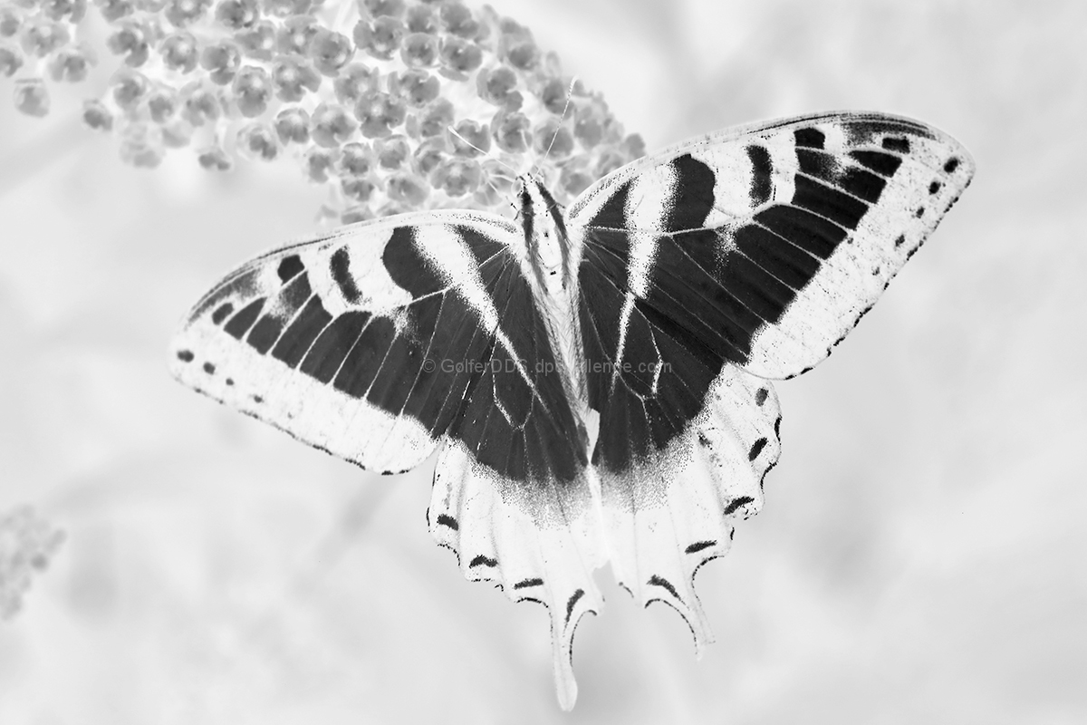 Swollowtail