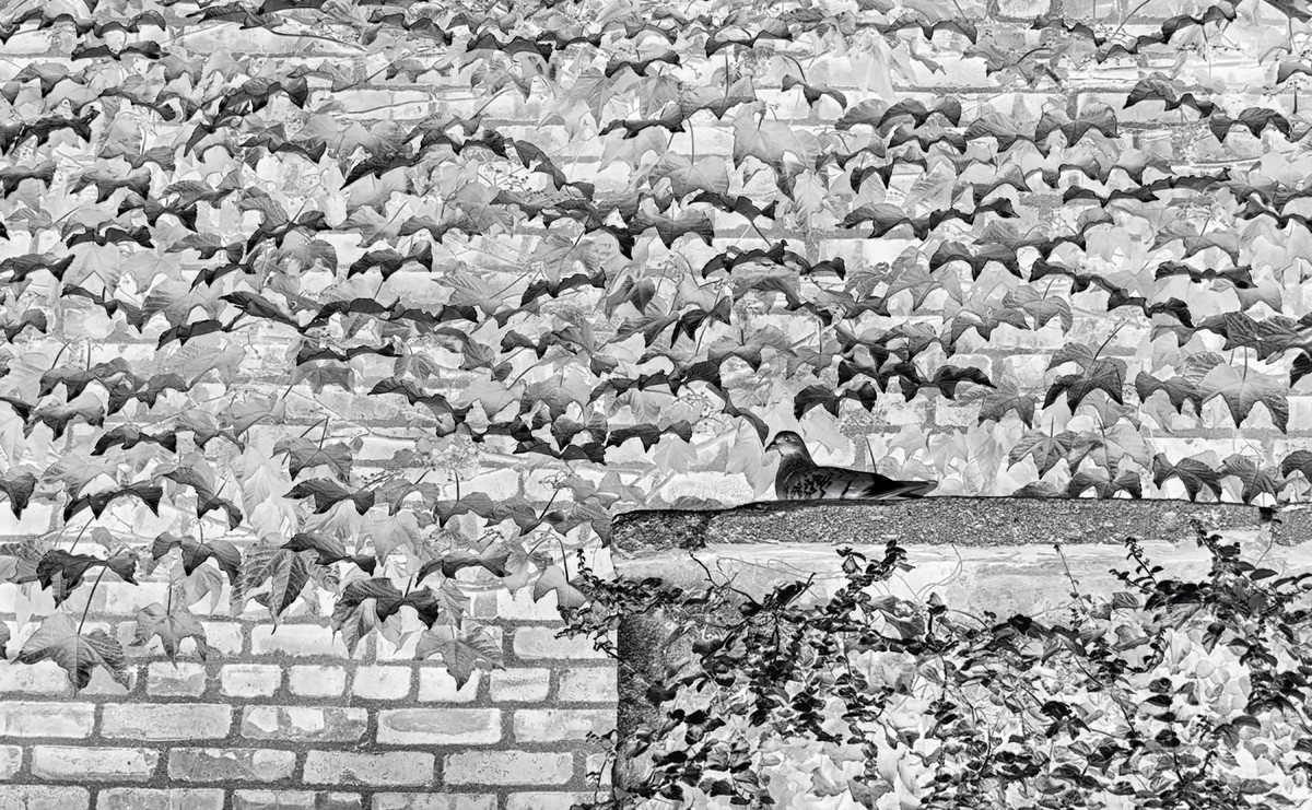 Bird on Ivy Wall