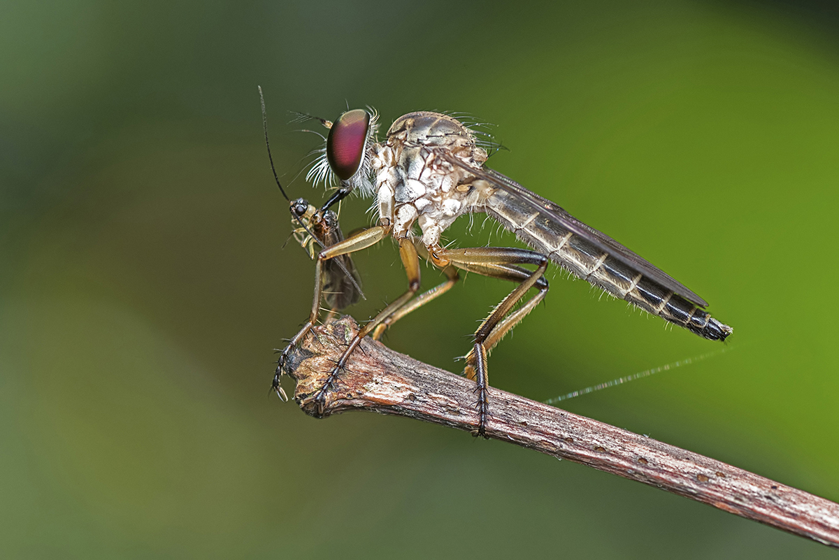 Magnificent Robber Fly Having Breakfast!