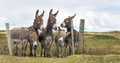 Connemara Donkeys