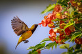 Olive Backed Sunbird in Flight -1