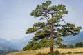 The Ponderosa Pine