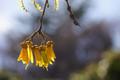 The Kowhai Tree Flower.