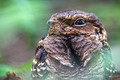 Portrait of a Nightjar